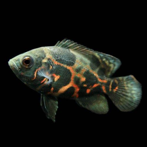 (熱帯魚)タイガーオスカー(約4cm)<1匹>[生体]