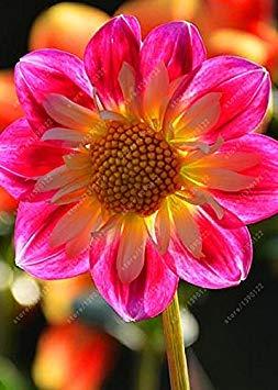 Virtue Echte Dahlienzwiebeln, Dahlienblüte, Bonsaiblumenzwiebeln, (nicht Dahliensamen), mehrjährige Pflanze Topfbauchige Wurzel für Garten 2 Stück 10