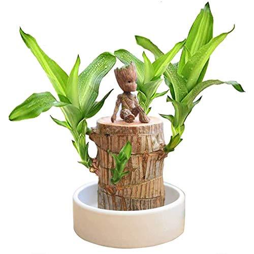 3 Stück Set Brasilien Lucky Badan Holz Hydroponic Topfpflanze, Mini Brasilien Lucky Holz Stumpf Pflanze