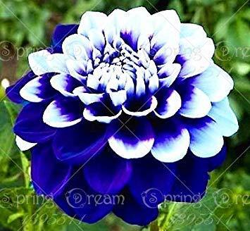 Echte Dahlienzwiebeln, Dahlienblüten (keine Dahliensamen), Bonsai-Blumenzwiebeln, Symbolisiert Mut und Glück, Hausgartenpflanze-2 Zwiebeln 4
