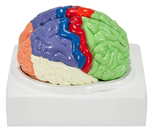 Axis Scientific Human Brain Model Anatomy with Colored and Labeled Regions, 2-Part Human Brain Model Disassembled – Includes Base, Detailed Product Manual and 3 Year Warranty