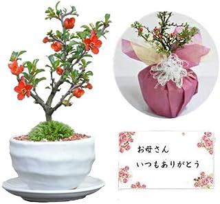 【母の日】かわいいミニ長寿梅の盆栽 ラッピング メッセージカード、説明書&肥料付