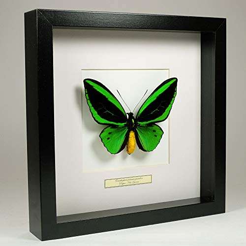 De Museumwinkel.com Ornithoptera priamus Poseidon – gemeiner grüner birdwingschmetterling - Echter präparierter Schmetterling montiert unter Glas in handgefertigten schwarzen Holzrahmen