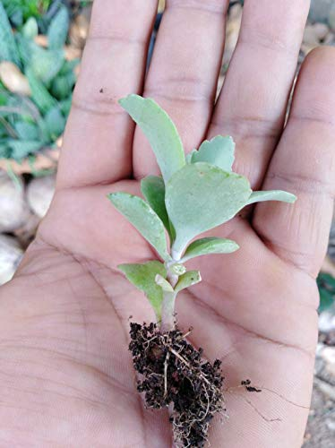 PLAT FIRM GERMINATIONSAMEN: 1 Pflanze Kalanchoe 5 cm, Bryophyllum (MUTTER VON TAUSENDEN)