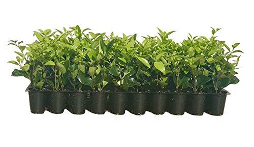 Ligustrum Waxleaf Privet - 20 Live Plants - Evergreen Privacy Hedge