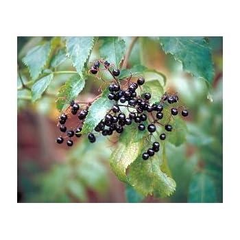 10 FRUITING BLACK BEARING ELDERBERRY UNROOTED CUTTINGS SAMBUCUS TREE