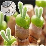 多肉植物 うさぎの耳 モニラリア 種子 10粒 年間を通して栽培実績のある成長過程がわかるLabiCatsオリジナルのカラー画像入り説明書つき