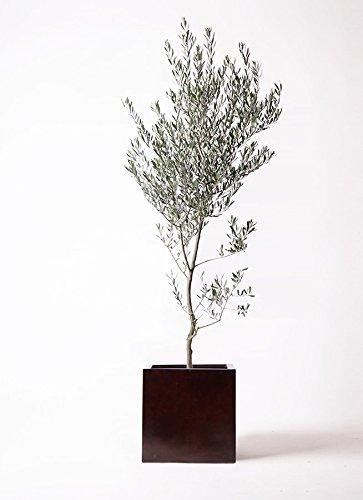 HitoHana(ひとはな) オリーブの木10号創樹 MOKUキューブ