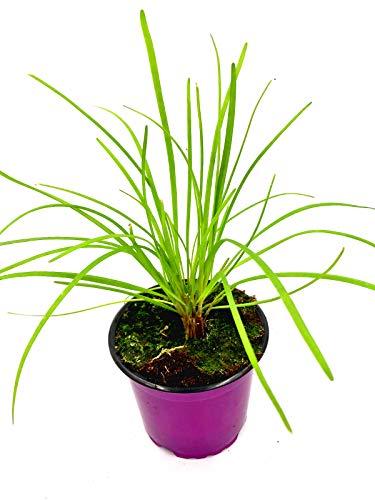 Schnitt Knoblauch Allium hybride Kräuter Pflanze 1stk.