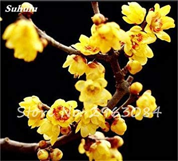 VISTARIC 22: plantes grimpantes graine rare Parthenocissus tricuspidata semences jardin plantes ornementales Quatre Saisons Fleur 60 Pcs/sac 22