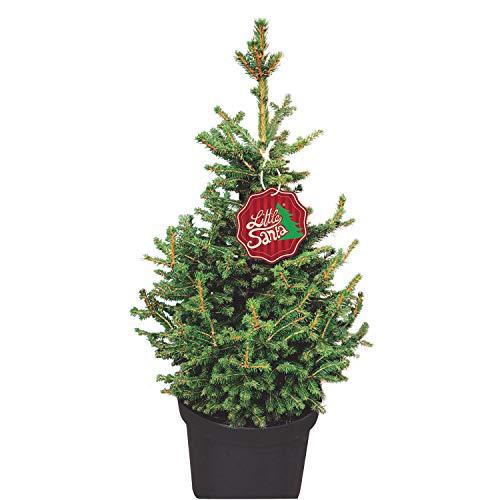 Kleine Fichte Little Santa - Picea abies - Nachhaltiger Weihnachtsbaum für Haus & Garten - Lieferung erfolgt im 5 Liter Container und einer Höhe von 60-70 cm - Qualitätsprodukt von Garten Schlüter