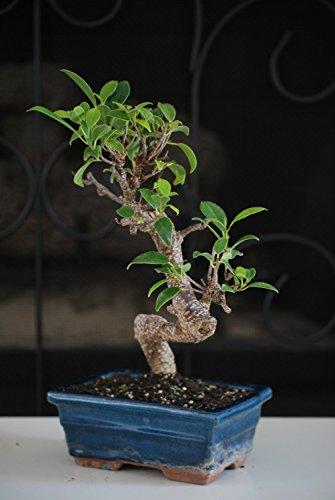9GreenBox FI-001 Golden Gate Ficus Bonsai