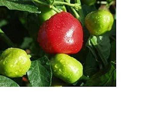 Portail Cool 25 + Premium Graines Récoltées à partir de Bio Cultivées Pepperdew Peppers-w 160