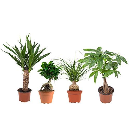 Kamerplanten van Botanicly – 4 × Tropische groene planten mix – Hoogte: 35 cm – Ficus GinSeng, Beaucarnea, Pachira, Yucca