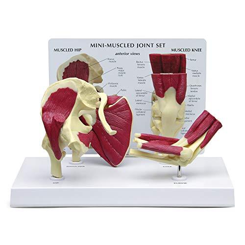 Hip, Shoulder, Knee & Elbow Joint Model Set   Human Body Anatomy Replica Set of Hip, Shoulder, Knee,...