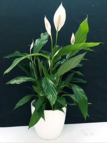 SPATIFILIUM GRANDIFLORA, SPATIFILLO XXL IN VASO CERAMICA BIANCO A RIGHE, vaso 22cm, pianta vera