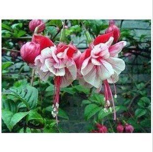 50 graines / paquet de graines de fuchsia, pommetiers, fleurs lanterne, balcon intérieur en pot, fleurs roses semences