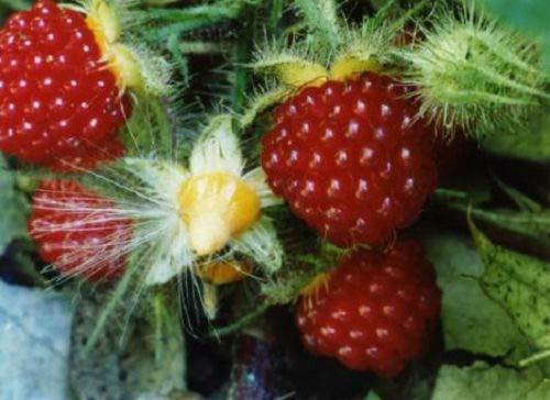 Fruit Plant - 6 Wineberry. Rubus phoenicolasius....