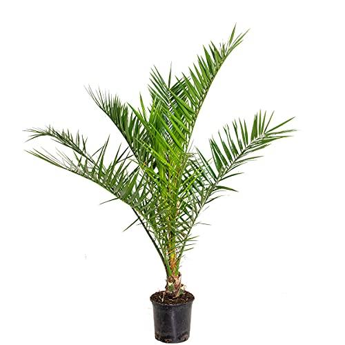 Phoenix 'Canariensis' | Kanarische Dattelpalme - Freilandpflanze im Anzuchttopf ⌀19 cm - ↕90-100 cm