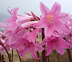 (3) Pink Belladonna Lily, Naked Lady Amaryllis Bulbs Roots,Rhizomes, Plants,Starts, For Spectacular Flowers Year After Year