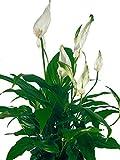 Einblatt weiß - Wundervolle Zimmerpflanze für...
