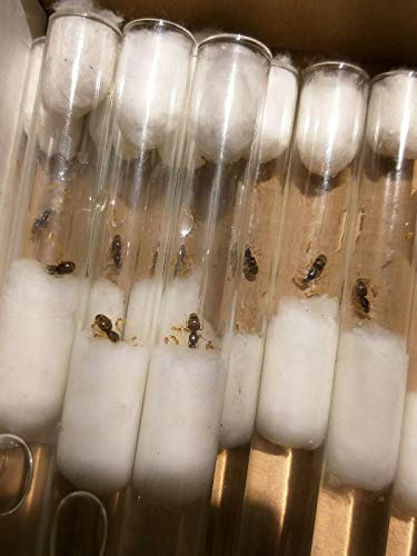 TruBlu Supply Queen Ant - Lasius flavus - Ant Colony with Larvae and Eggs - Live Ants - Small Colony
