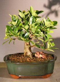 Green Island Ficus Bonsai Tree - Medium (ficus microcarpa)