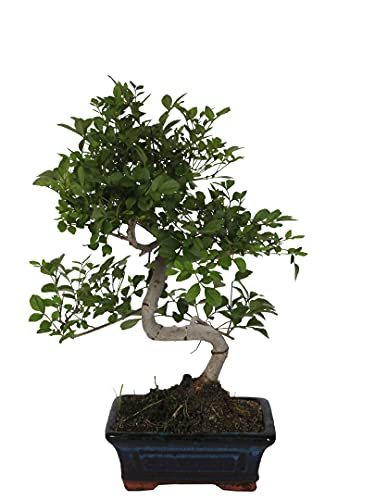 Bonsai Fraxinus Ball Shape In Vaso Ceramica Ø15 H/24cm.