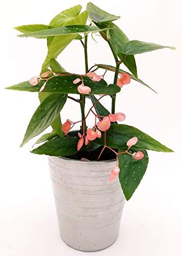 BEGONIA TAMAYA, CORALLINA, TAMAIA, IN KERAMIKTOPF SILBER, Echte Pflanze