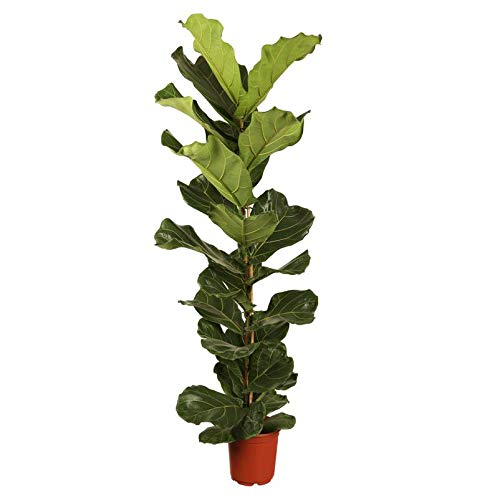 Pflanzen Kölle Geigenfeige 'Ficus Lyrata', Pflegeleichte Zimmerpflanze Höhe 100 cm im 21 cm Topf