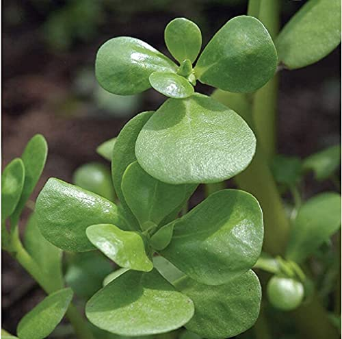 David's Garden Seeds Greens Leafy Purslane Goldberg Golden SL3886 (Green) 500 Non-GMO, Open Pollinated Seeds