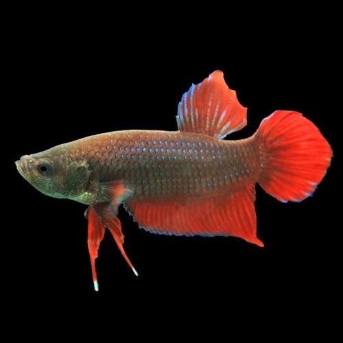 (熱帯魚)ベタ プラガット オス (赤系青系色おまかせ)(約4cm)<1匹>[生体]