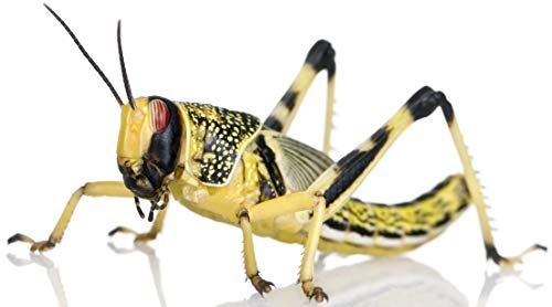 50 Large Locusts, Live Food for Reptiles...