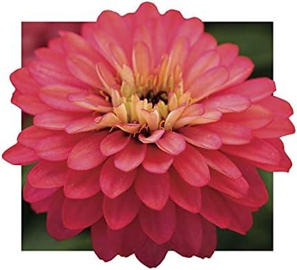 Park Seeds Zinnia Double Zahara Flower Nashville-Davidson Mall Salmon of 25 Pack Max 55% OFF