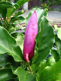 rot blühende Tulpenmagnolie Magnolia soulangiana Susan 60 cm hoch im 3 Liter Pflanzcontainer