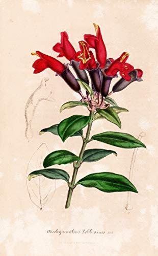 Aeschynanthus Lobbianus - Lippenstiftblume lipstick plant flower flowers Blume Blumen Botanik Botanical Botany antique print