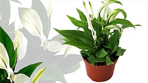 Isenzo Lebende Topfpflanze Spathiphyllum...