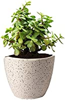 Guuchuu Good Luck Jade Plant In Round Ceramic Pot Air Purifier