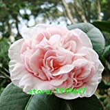 Vistaric Rare Light Pink Camellia Semi di Piante In Vaso Giardino di Fiori Semi In Vaso Bonsai Giapponese Semi di Camelia 50 PZ Spedizione Gratuita