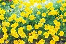 200 graines Dahlberg Daisy (Thymophylla tenuiloba or tapis) se nourrit de négligence!