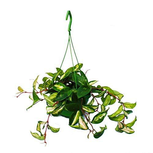 Exotenherz - Zimmerpflanze zum Hängen - Hoya carnosa rubra - Porzellanblume - Wachsblume 14cm Ampel