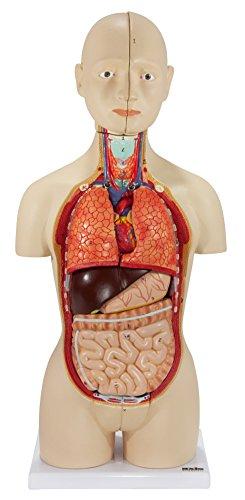 Axis Scientific Human Body Model   17 Inch Mini Human Torso Model Has 16 Removable Parts   Great...