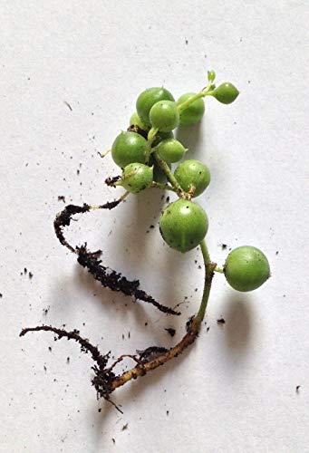 FERRY HOCH KEIMUNG Seeds Nicht NUR Pflanzen: String of Pearls - RootedRowleyanus, Perlenschnur Seeds