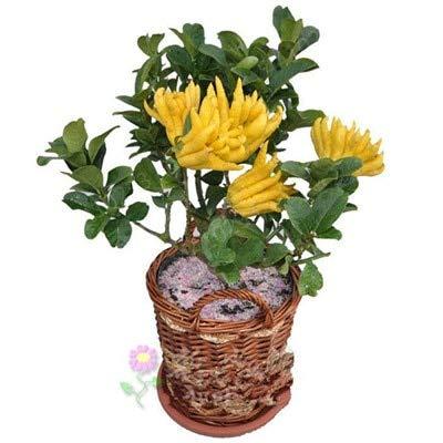 Freies Verschiffen 50 PC Bonsai Finger-Citron Bergamot Köstlicher Frucht Jinhua Bergamotte Pflanze Gemüse Bonsai Anlage für Hausgarten: 16