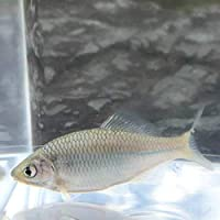 (淡水魚)ブルーメタリックカネヒラ (1匹)【生体】