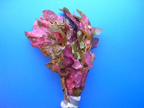 Rosablättriges Papageienblatt/Alternanthera reineckii Pink - roseafolia, Sehr Dekorativ, Farblich unschlagbare Aquariumpflanze