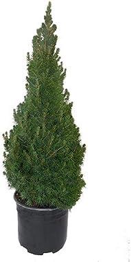 Shrub Dwarf Alberta Spruce, 1 Gallon, Green