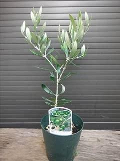 オリーブ苗木 ネバディロブランコ 全長20~30cm前後 ピンチ苗