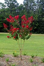 (1 Gallon) Red Crape Myrtle (aka Dynamite Crepe Myrtle), Showy, Glorious fire-red Flowers, Small Tree with Smooth, Peeling bark.