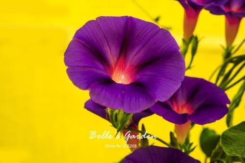 100 pcs/sac graines de pétunia, pétales de double graines de fleurs de pétunia, plante en pot bonsaï vivaces pour le jardin de la maison 4